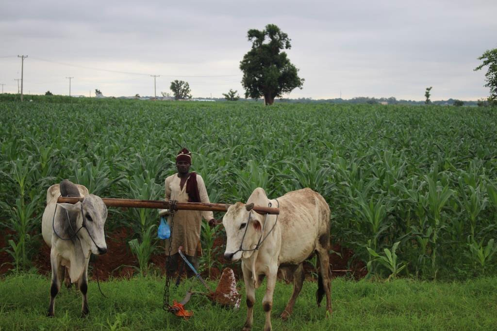 Smallholder-maize-farmer-with-his-work-bulls-at-TAMASA-flight-site,-Doguwa